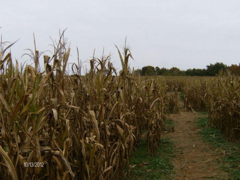 the maze in Milf corn