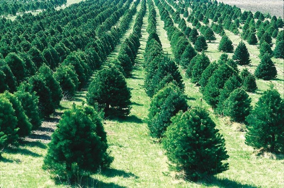Christmas Tree Farm Lebanon Ohio Part - 44: Best Places To Cut Your Own Christmas Tree In Cincinnati