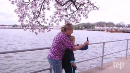 Blooming cherry trees in nation's capital serve as natural monument