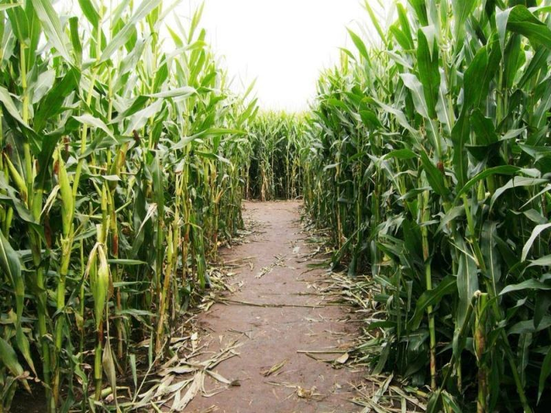 best corn mazes in the new orleans area axs Farm Clip Art Cornfield Maze