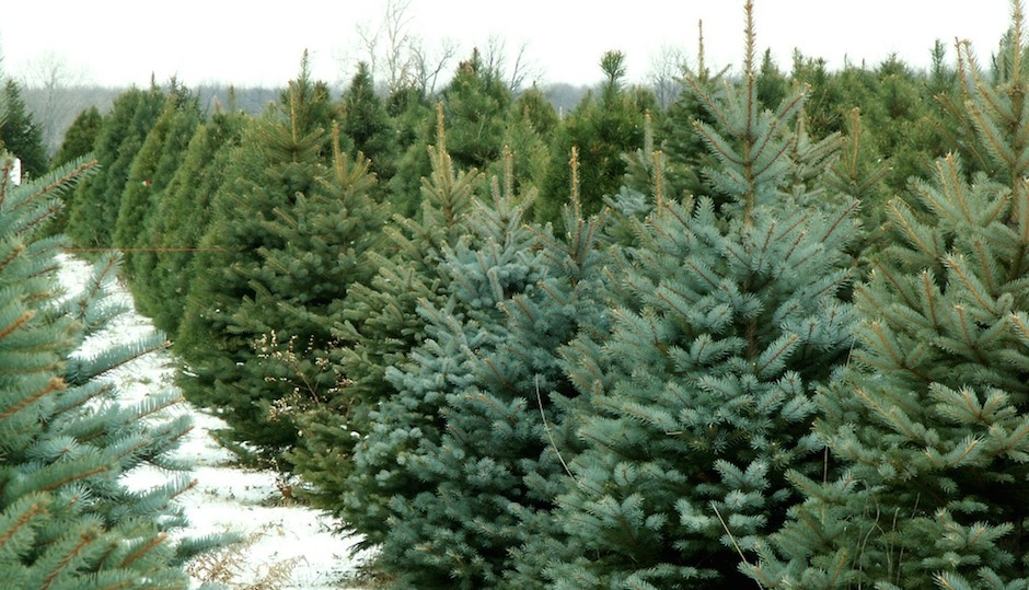 best places in philadelphia to cut your own christmas tree - Cut Your Own Christmas Tree