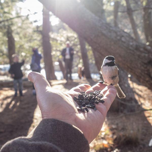 Brave little Chickadee